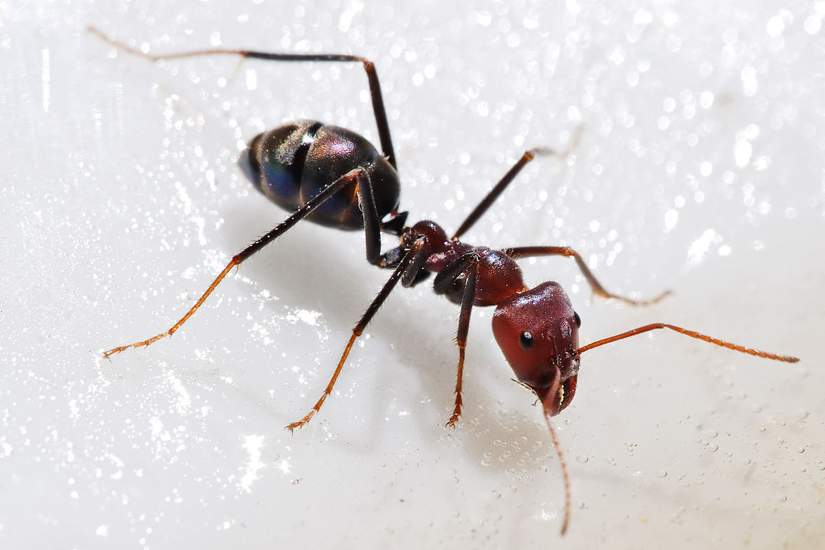 1200px-Meat_eater_ant_feeding_on_honey02